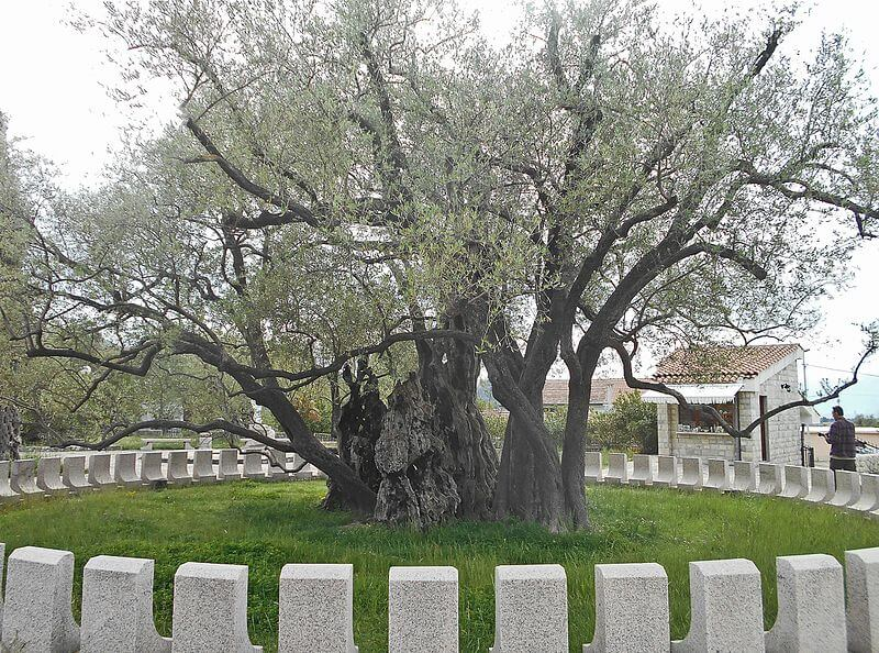 Mirovica-træet i Bar Montenegro